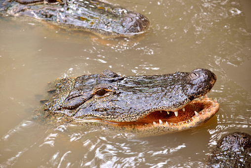 American alligator with mouth open 1070185292