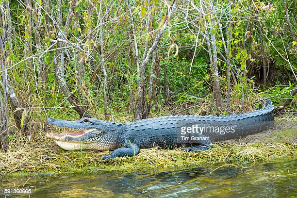 American alligator with mouth open showing its teeth basking by Turner River by Tamiami Trial the Florida Everglades USA