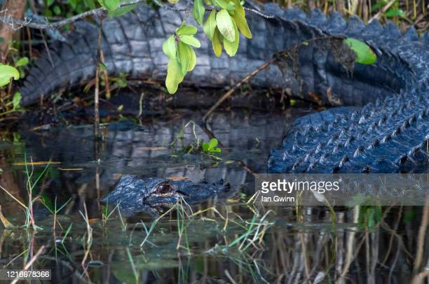 american alligator_4 - ian gwinn stockfoto's en -beelden