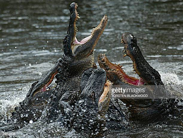 American alligators compete for prime position during a feeding frenzy at the Australian Reptile Park near Sydney 30 September 2003 The alligators...