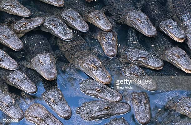 American alligators (Alligator mississippiensis) in pool, USA