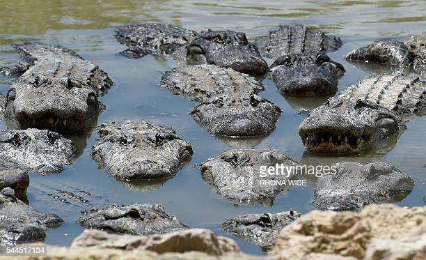 American Alligators wade in the alligator lagoon at Everglades Alligator Farm in Homestead, Florida, on June 24, 2016. Florida, famed for its...