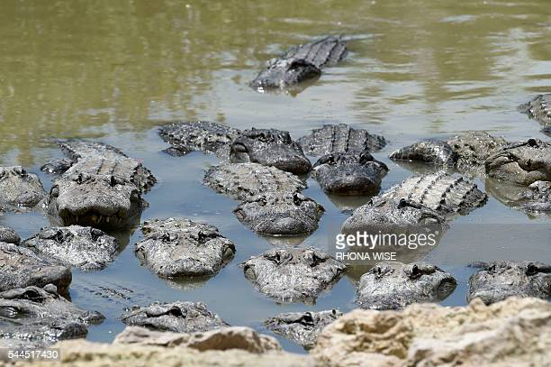 American Alligators wade in the alligator lagoon at Everglades Alligator Farm in Homestead Florida on June 24 2016 Florida famed for its turquoise...