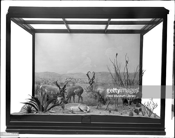 American Antelope Habitat group diorama with accessories Five animals mounted by Taxidermist Julius Friesser in a setting representing the arid...
