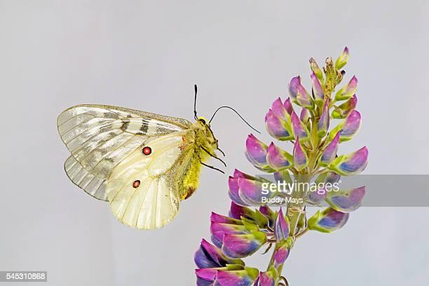 American Apollo Butterfly, Parnassius apollo