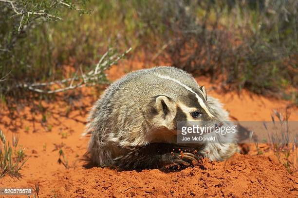 american badger at burrow - american badger stock photos and pictures