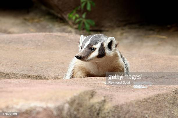 American Badger at the Milwaukee County Zoo on JUNE 08 2013