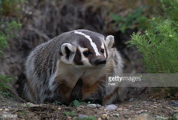 american badger in burrow - american badger stock photos and pictures