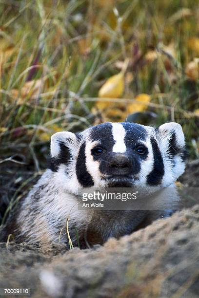 american badger (taxidea taxus) in den, wyoming, usa, close-up - american badger stock photos and pictures