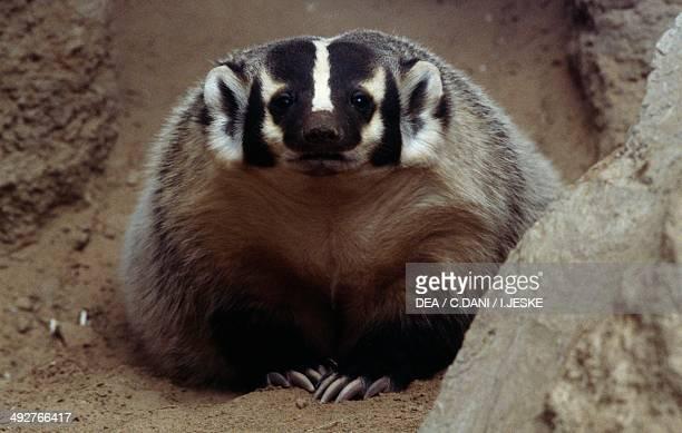 American badger Mustelidae