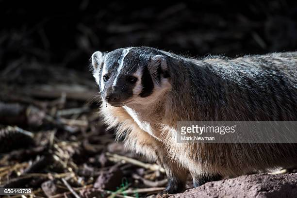 american badger - american badger stock photos and pictures