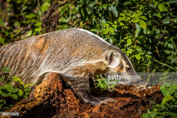 american badger (taxidea taxus) walking on dirt at glacier national park, montana, usa - american badger stock photos and pictures