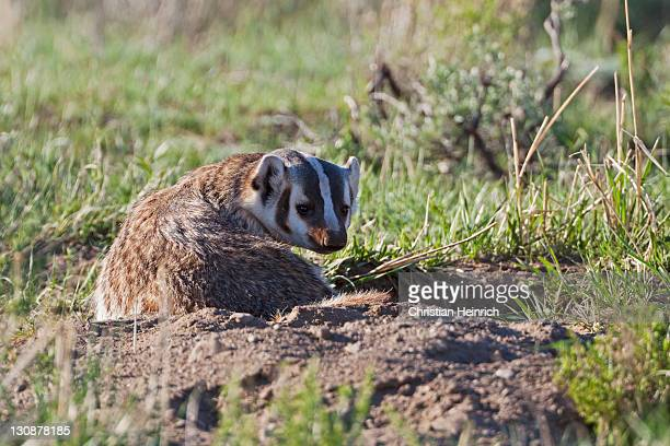 american badger (taxidea taxus), yellowstone national park, wyoming, idaho, montana, america, united states - american badger stock photos and pictures