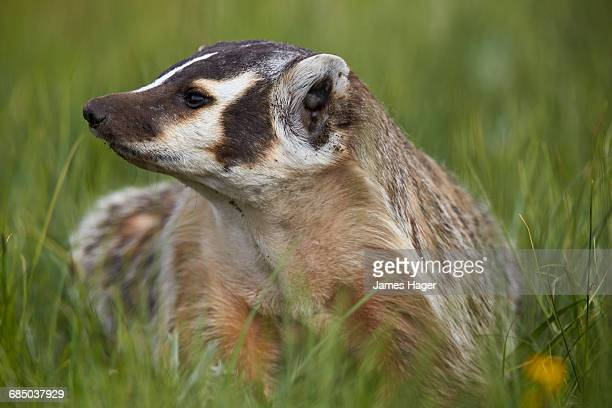 american badger (taxidea taxus), yellowstone national park, wyoming, usa - american badger stock photos and pictures