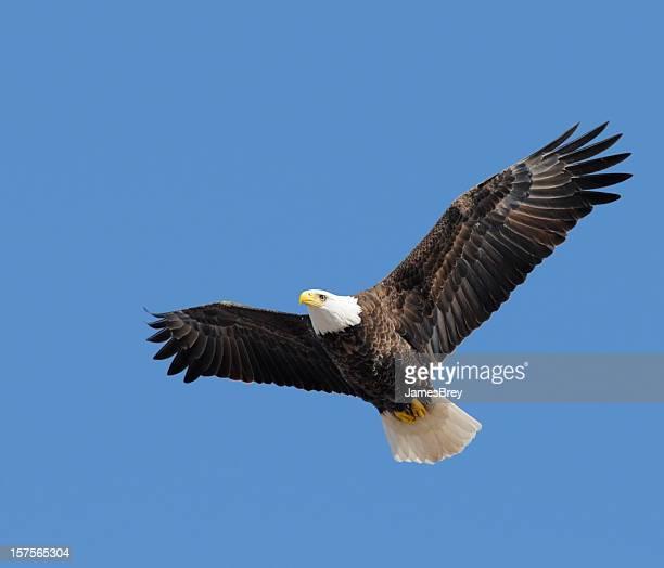 American Bald Eagle Flying Free in Blue Sky, Leadership, Freedom