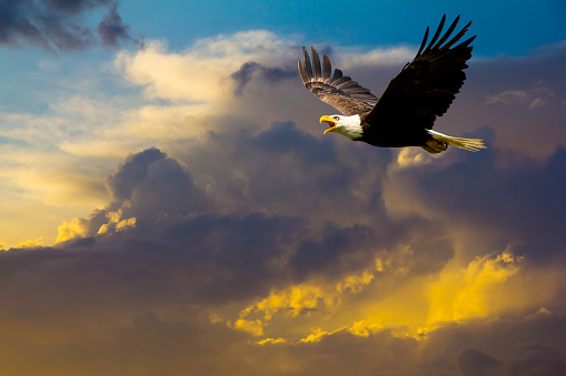 American Bald Eagle Flying in Spectacular Dramatic Sky 500946993