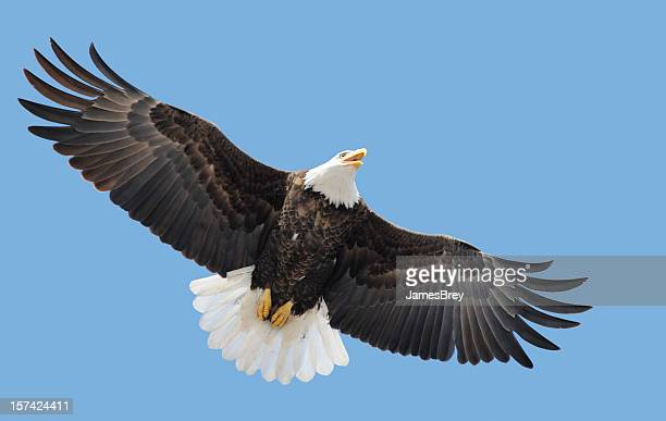american bald eagle flying, wings spread in blue sky - spread wings stock pictures, royalty-free photos & images
