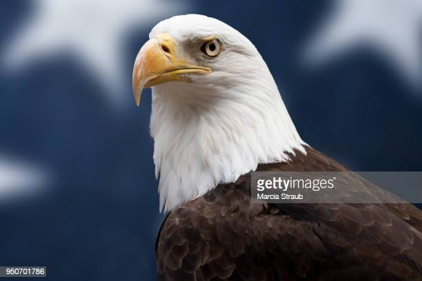 american bald eagle head in front of american flag - american flag eagle stock pictures, royalty-free photos & images