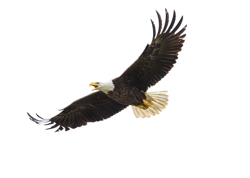American Bald Eagle in Flight 468589484