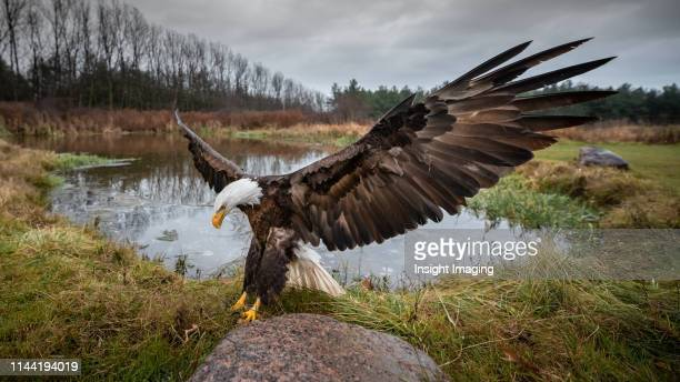 american bald eagle landing - bald eagle stock pictures, royalty-free photos & images