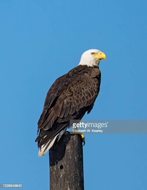 american bald eagle - 止まる ストックフォトと画像