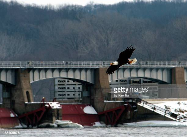 american bald eagle - ken ilio stock pictures, royalty-free photos & images