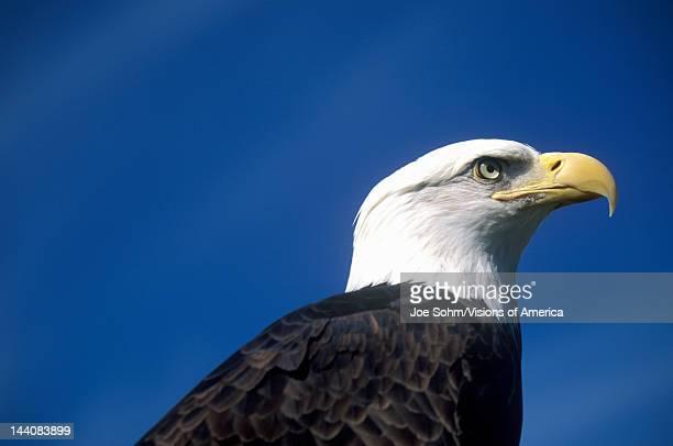 American Bald Eagle Pigeon Fork TN