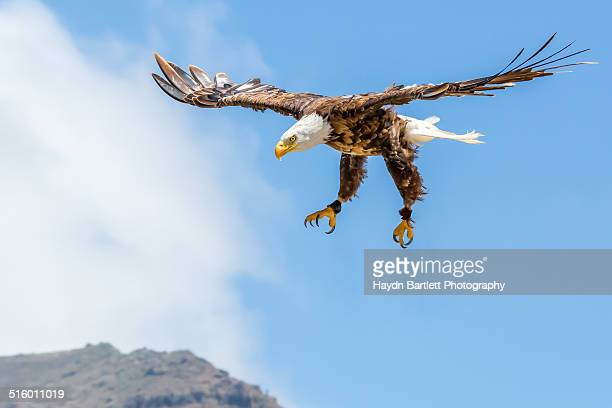 American Bald Eagle prepares for Landing