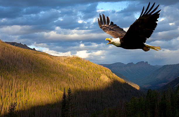 American Bald Eagle Rules The Sky Over Wyoming USA