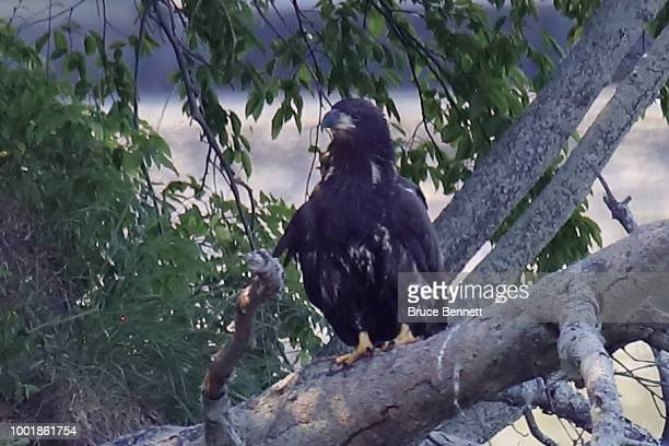 American bald eagles populate Mill Pond on July 11 2018 in Centerport New York
