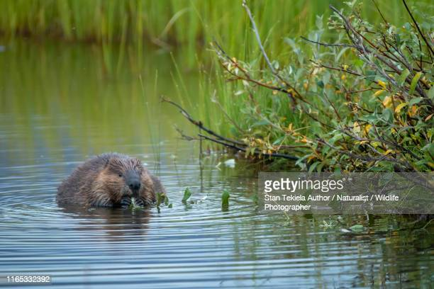 american beaver in water eating - beaver stock pictures, royalty-free photos & images