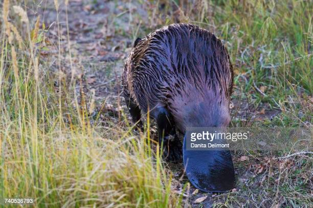 american beaver (castor canadensis) walking up trail - beaver stock photos and pictures