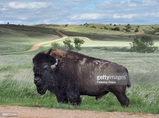 American Bison Along The Road At Badlands National Park, South Dakota