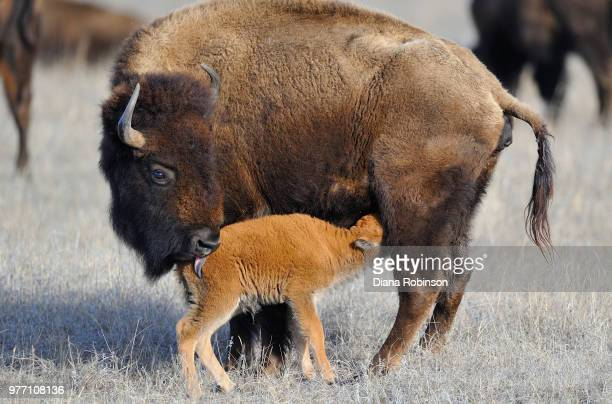 American bison and calf, Niobrara Wildlife Refuge, Valentine, Nebraska, USA