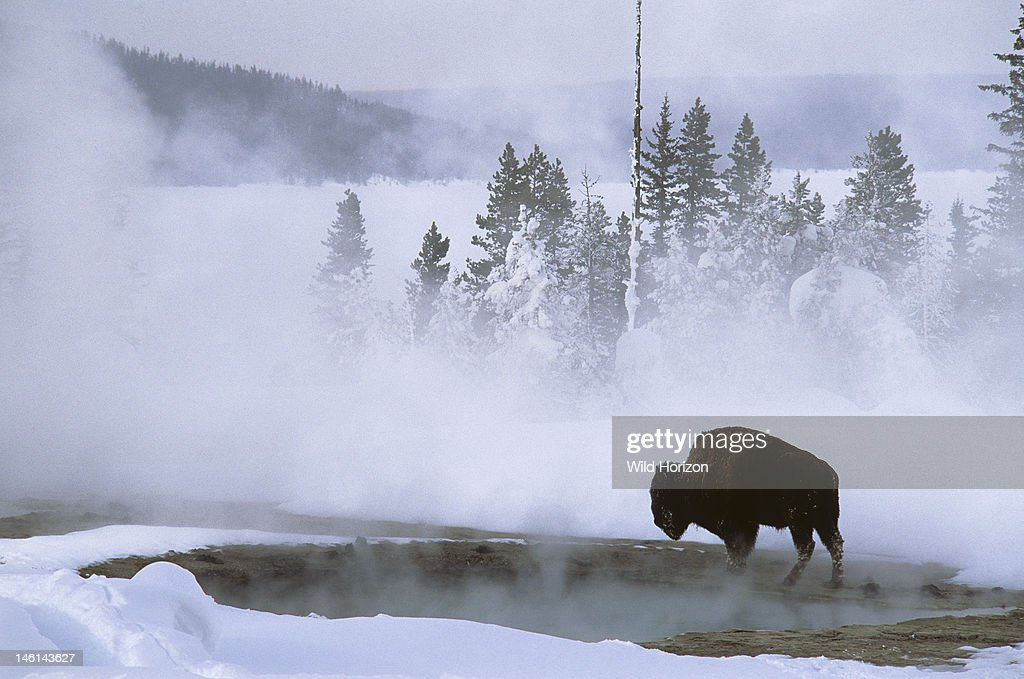 American bison at a Yellowstone geyser basin in winter, Bison bison, Thermal pools provide warmth and growths of algae, food for bison in winter, West Thumb Geyser Basin, Yellowstone National Park, Wyoming, USA,