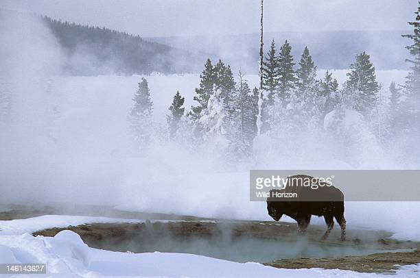 American bison at a Yellowstone geyser basin in winter Bison bison Thermal pools provide warmth and growths of algae food for bison in winter West...