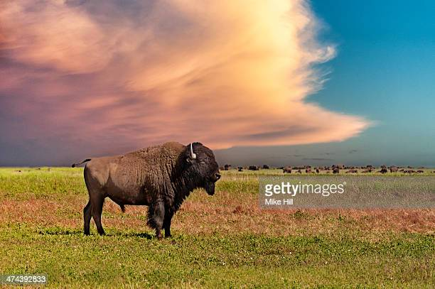 American bison at sunset