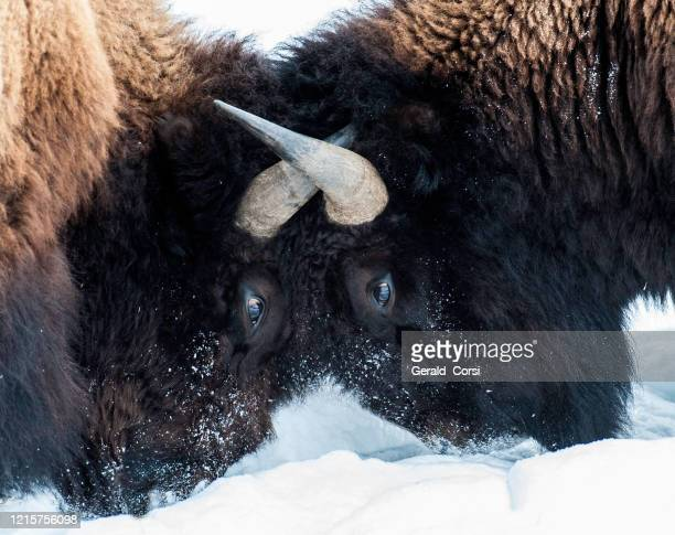 american bison, bison bison, winter in yellowstone national park, wyoming. fighting. - wild cattle stock pictures, royalty-free photos & images