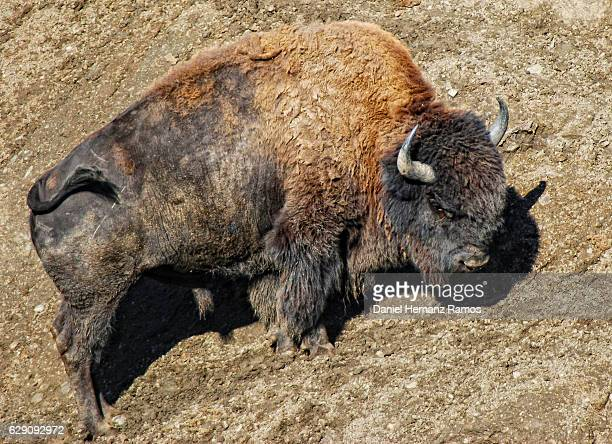 American bison body close up