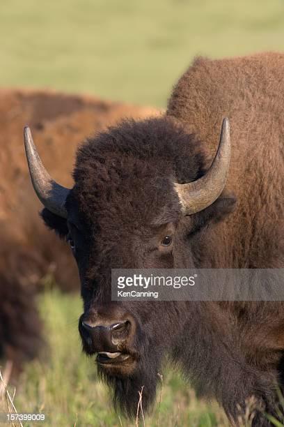 Bison nord-américain, Portrait de Buffalo