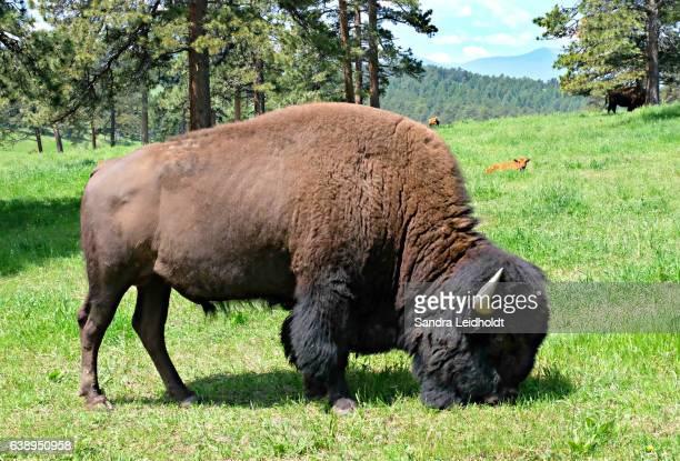 American Bison Bull in Colorado