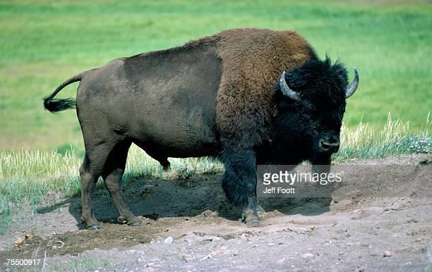 American bison (Bison bison) bull, Yellowstone National Park, Wyoming, USA