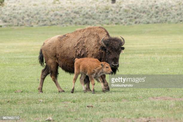 american bison  cow and young  calf on ranch in central oregon - buffalo stock pictures, royalty-free photos & images
