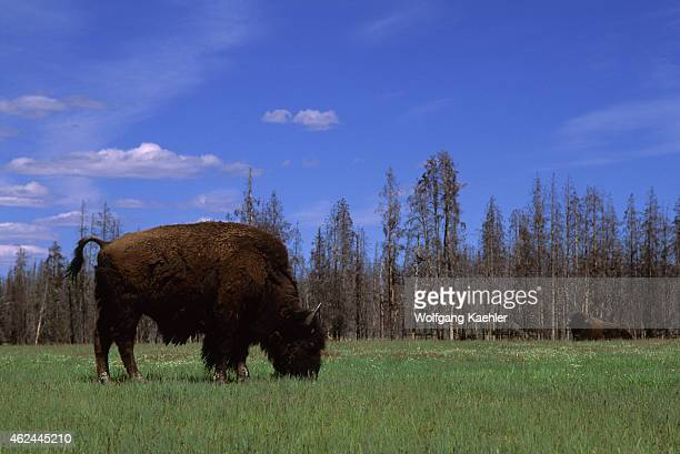American bison grazing at the Fountain Flats in front of burned forest in Yellowstone National Park in Wyoming United States