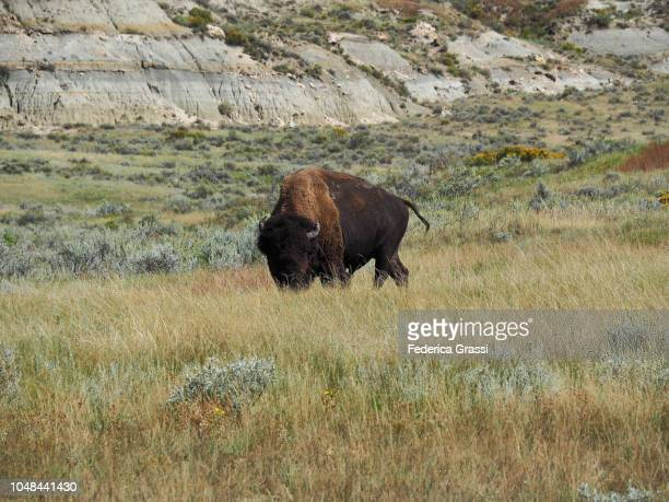 american bison grazing at theodore roosevelt national park, south unit - petrified log stock pictures, royalty-free photos & images