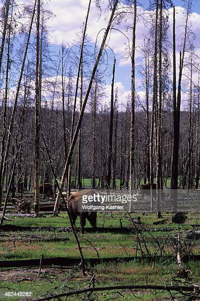American bison grazing in burned forest in Yellowstone National Park in Wyoming United States