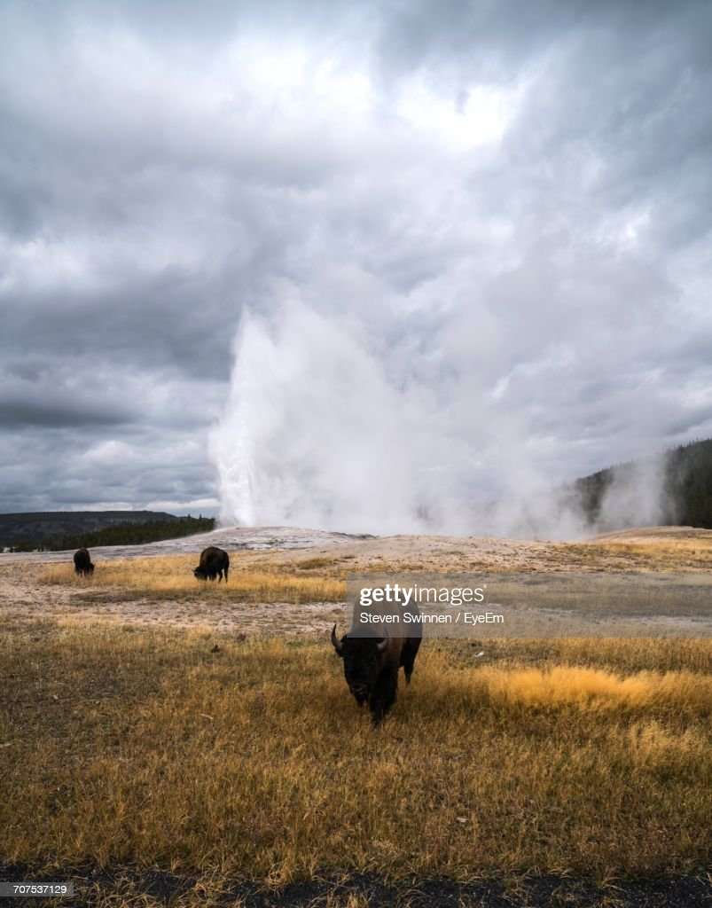 American Bison Grazing On Field Against Old Faithful Geyser