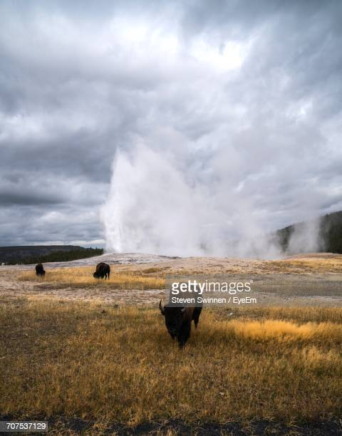 American Bison Grazing On Field Against Old Faithful Geyser At Yellowstone National Park