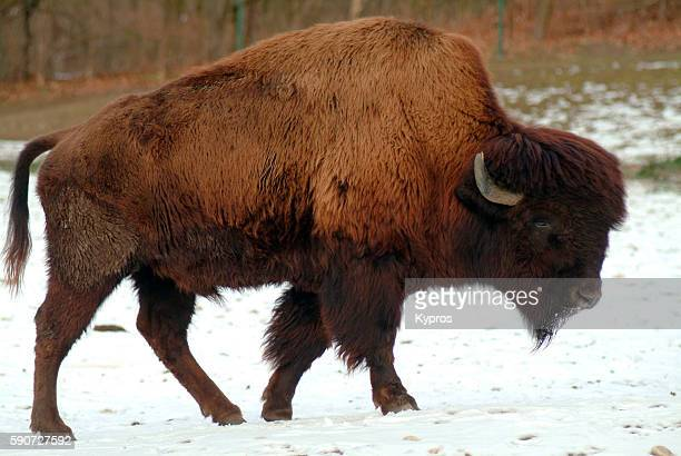 american bison in bavaria germany - wild cattle stock photos and pictures