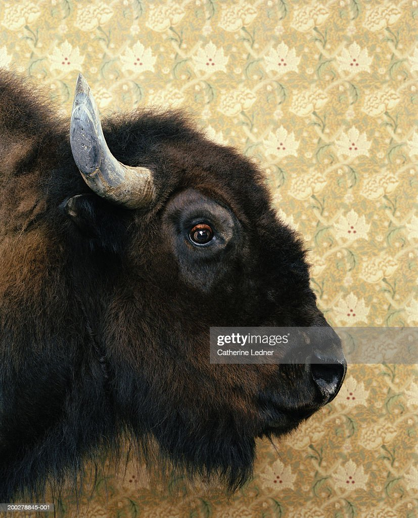 Beautiful Bison Wallpaper - american-bison-in-front-of-wallpaper-profile-picture-id200278845-001  Perfect Image Reference_777091.com/photos/american-bison-in-front-of-wallpaper-profile-picture-id200278845-001